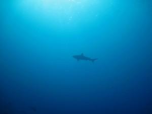 shark diving in the deep ocean off Mozambique